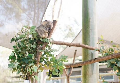 Koalas gehören zu den bekanntesten Tieren Australiens - ein ganz besonderer Brautpartyteilnehmer also